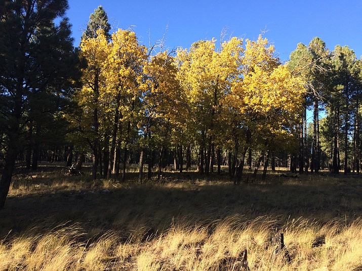 The Tusayan Ranger District trails are awash in fall colors through early November. (Photo/Kaibab National Forest)