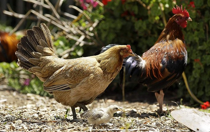 Pictured in this 2011 file photo are wild, feral chickens in a residential yard. Felix Guerra won't have to pay a fine of $1,000 a day to Orange County for illegally keeping backyard wild chickens and ducks. (AP File Photo/Jeff Chiu)