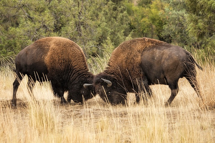 Male bison headbutting at Theodore Roosevelt National Park caused injury to a nearby visitor July 27. (Stock photo)