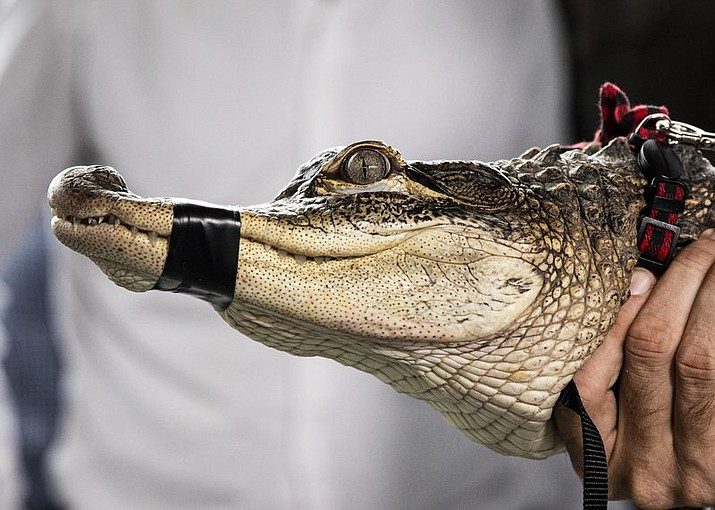 In this July 16, 2019 file photo, Florida alligator expert Frank Robb holds an alligator during a news conference in Chicago. It cost nearly $34,000 for the city of Chicago to wrangle a notorious alligator out of a West Side lagoon. Officials say a $2,500 fee went to Robb. He also received $2,166 for travel and lodging. Most of the cost arose from city workers putting up and removing barricades to keep people away from the lagoon.(Ashlee Rezin/Chicago Sun-Times via AP)