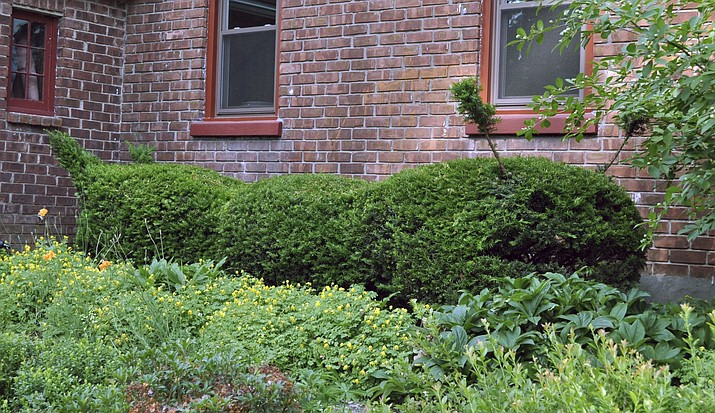 This undated photo shows a row of yews along a house foundation in New Paltz, N.Y. With dense, small leaves and readiness to resprout from pruning cuts, yews are easily pruned as a topiary — in this case as a giant caterpillar. (Lee Reich via AP)