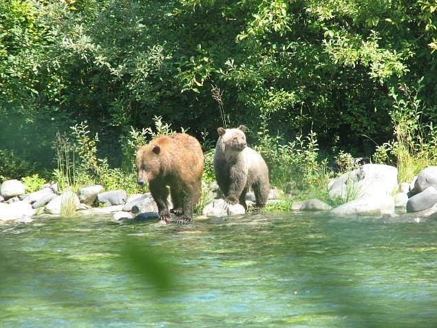 According to NPS, some of the best habitat for grizzly bears in the contiguous United States remains in the North Cascades.  (Steve Rochetta/NPS)