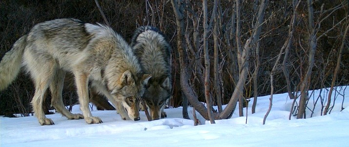 A group of Alaska advocates is petitioning for an end to wolf hunting in part of Denali National Park National Park. (Photo/NPS)