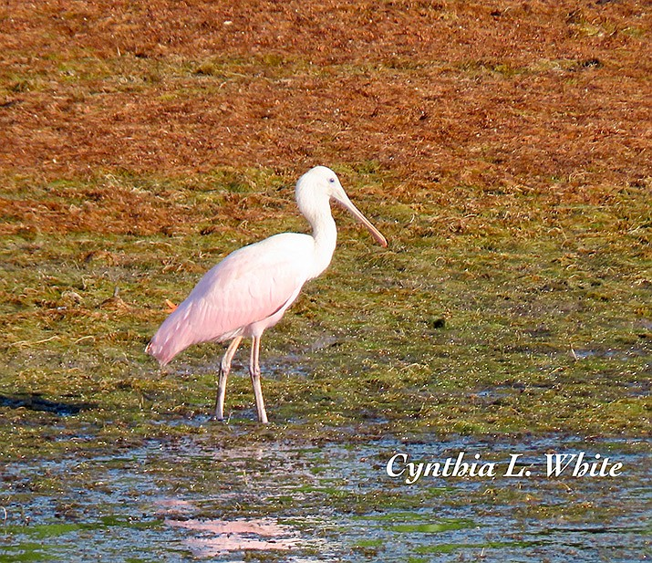 One of the rarest birds ever to show up in Prescott, a roseate spoonbill, was observed at Watson Lake on Aug. 2, 2019. News of this rare bird spread like wildfire, and bird watchers from all over the state have been flocking to the lake to see it. (Courtesy photo by Cynthia White)