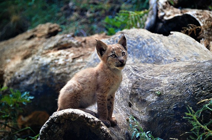In this handout photo taken on Monday, Aug. 5, 2019 and provided by Fundacion Catalunya La Pedrera, a two month old lynx looks up at the Mont Natura complex in Alt Aneu Pallars Sobira, Spain. A Spanish nature conservation center says that the first baby lynx on record has been born in the Pyrenees in nearly a century. The Eurasian lynx is considered extinct in the Spanish and French Pyrenees. (Fundacion Catalunya La Pedrera Via AP)