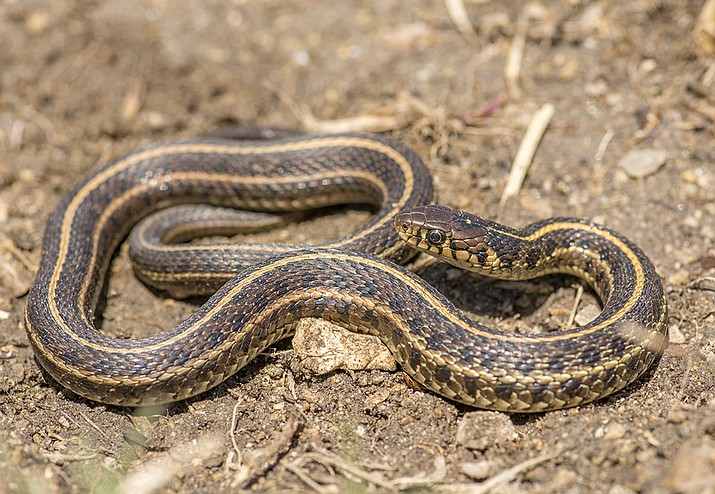 Arizona Game and Fish Department Summer Wildlife Series wraps up at 6 p.m. Friday, Aug. 16 with its presentation of Garter Snakes of the Water's Edge at Mohave County Library-Kingman, 3269 N. Burbank St. (Adobe Images)