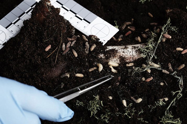 Dive into the world of forensic entomology and learn about how insects can play an important role in solving complex murder mysteries. (Stock image)