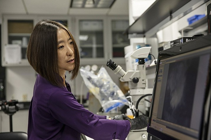 Cheryl Hayashi uses a microscope to work on a spider in her lab at the American Museum of Natural History in New York. Hayashi has collected spider silk glands of about 50 species, just a small dent in the more than 48,000 spider species known worldwide. (AP Photo/Jeremy Rehm)