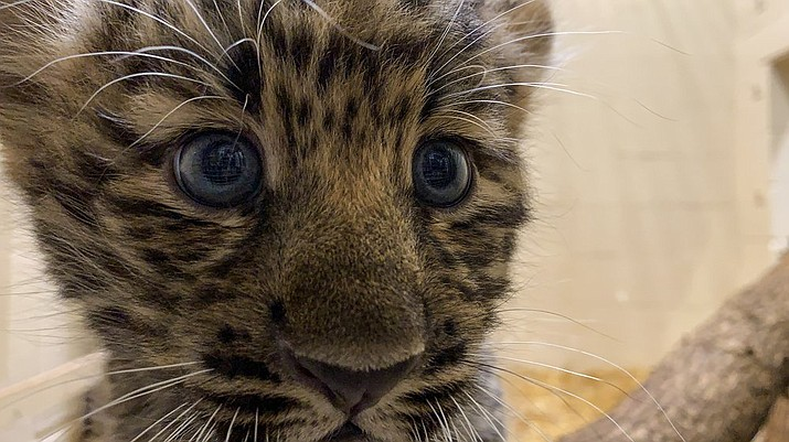 In this Monday, Aug. 12, 2019 photo provided by the Rosamond Gifford Zoo, an Amur leopard cub plays in its private quarters at the Rosamond Gifford Zoo in Syracuse, N.Y. The leopards, which are native to eastern Russia and critically endangered, made their public debut on Wednesday, Aug. 14. (Courtesy of the Rosamond Gifford Zoo via AP)