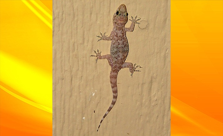 A Mediterranean gecko--now an Arizona gecko--on a bug hunt.