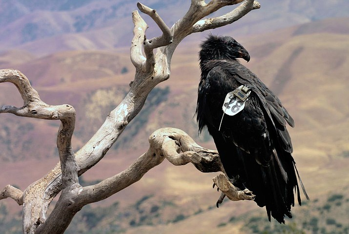 California Condor numbers have been growing in the wild since the bird was put on the endangered species list in 1967. (Photo courtesy of USFWS)