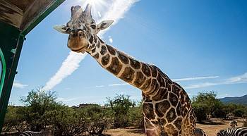 Gone but not forgotten: Giraffe at Out of Africa dies photo