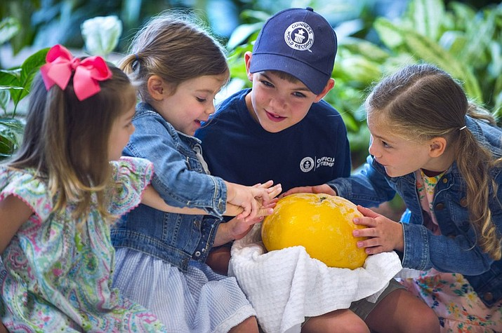 From left, Cora Dutschke, 3, Audrey Brouillette, 3, Darrell Brouillette, 8, and Emily Brouillette, 6, grandchildren of Slidell's Mary Beth and Doug Meyer, wear intrigued looks as they put their hands on the new world-record grapefruit, before the Meyers were presented with framed certificates from the Guinness Book of World Records by Louisiana Agriculture and Forestry Commissioner Mike Strain, for the seven pound, 14.64 ounce grapefruit that they grew, Tuesday, Aug. 27, 2019 in a ceremony held at LDAF offices in Baton Rouge, La. The grapefruit was 13.6 ounces (385.6 grams) heavier and 1¼ inches (3.2 centimeters) bigger around than the 2006 record, set in Brazil. (Travis Spradling/The Advocate via AP)