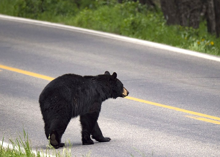 A recent increase in black bear sightings has been reported in the Parks area. (Stock photo)