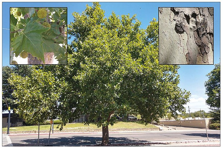 London plane tree on Gurley St. in Prescott near the Sharlot Hall Museum. Leaves and fruit are shown in the upper left photo and the bark is shown in the upper right photo. (Jeff Schalau/University of Arizona).