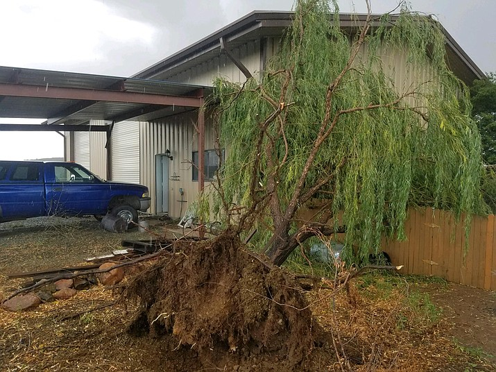 Storms causing trees to fall or be uprooted has been common lately - this one happened Wednesday, Aug. 28, 2019, when a willow tree fell over in Dewey. (Doyle Wiste/Courtesy)