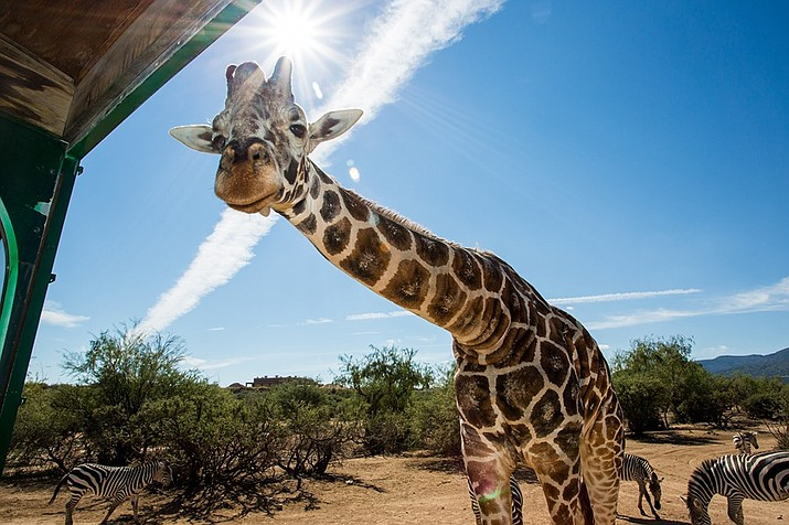 "Animal lovers everywhere mourned the loss this week of 20-year-old ""Kibo,"" an Out of Africa Wildlife Park giraffe, that passed away Aug. 20. (Photo/Out of Africa Wildlife Park)"