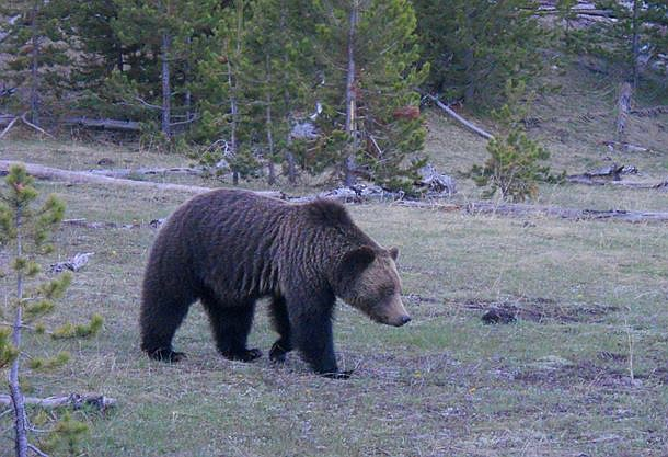 A grizzly bear wanders through Yosemite National Park. The park recently designated wildlife protection corridors in the park to help eliminate bear-vehicle accidents. (Photo/NPS)