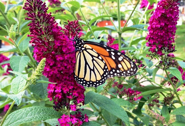 A single flower panicle of a butterfly bush may be up to a foot in length, with each panicle comprised of hundreds of densely packed florets. Butterflies, naturally drawn to the nectar-rich little flowers, create a summer- through-autumn parade of these winged garden friends. (Ken Lain/Courtesy)