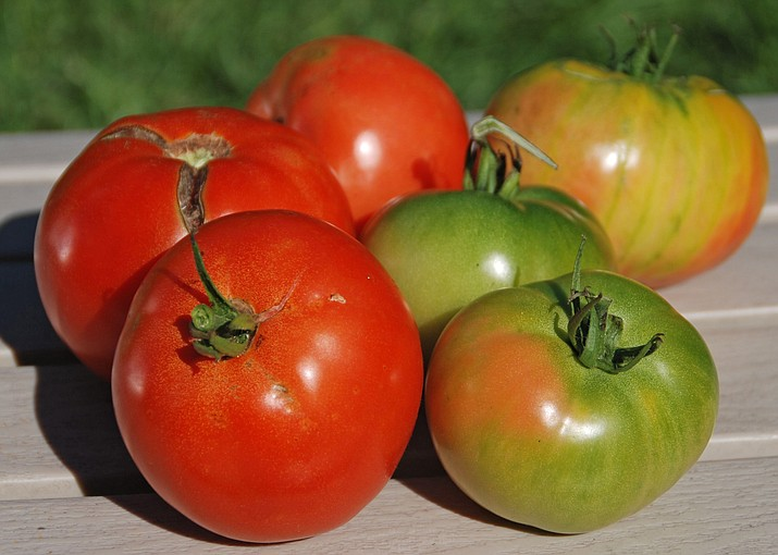 At the end of the season, pick tomatoes that are starting to show some color and allow them to finish ripening indoors. (Melinda Myers, LLC/Courtesy)