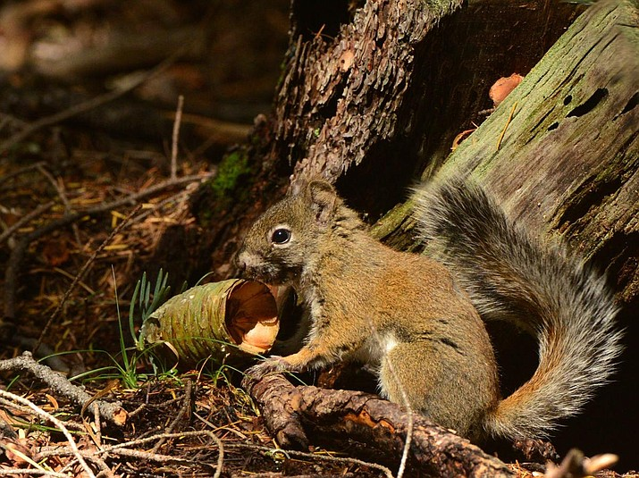 The wild population of Mount Graham red squirrels is estimated at only 75 individuals. (George Andrejko/AZGFD)