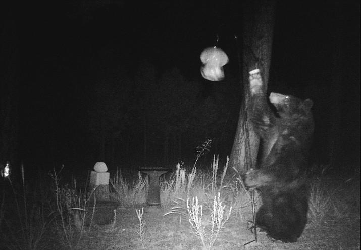 Two black bears were seen roaming neighbors in Parks recently. (Photo/John Sears)