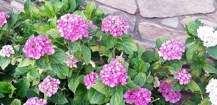 'Merritt's Beauty' pink Hydrangeas give welcome color in mid- and late summer.