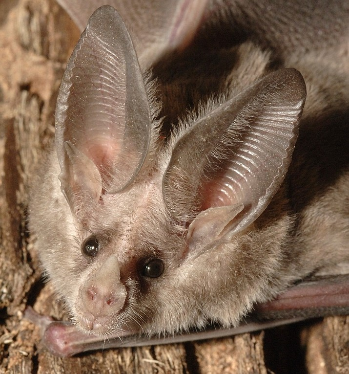 The Arizona Game and Fish Department invites educators of all subjects to look at two of these hard-to-love animals – bats and vultures – in a series of three free workshops. (AZGF/Courtesy)