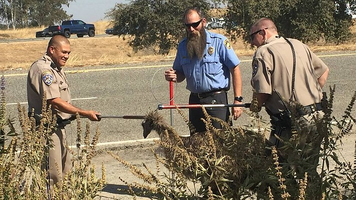 In this Friday, Sept. 13, 2019 photo released by California Highway Patrol, CHP officers with an officer from Madera County Animal Services, middle, use dog snares to capture an emu that was found wandering along California Highway 99, north of Madera, Calif. Authorities say Madera County Animal Services took the bird into custody uninjured. (California Highway Patrol via AP)