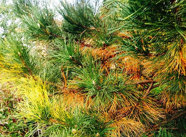 Are your evergreens looking like this, turning shades of yellow and brown? Many factors come into play, such as time of year, which needles are dropping and fertilizing. Consult with an expert before giving up. (Watters/courtesy)