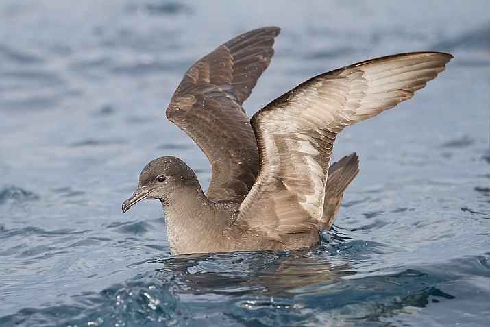 From late June to early August, thousands of Short-tailed Shearwaters were reported dead and washing up on beaches in the Bristol Bay region, or observed weak and attempting to feed from salmon gillnets in inland waters. (J.J. Harrison/Creative Commons)