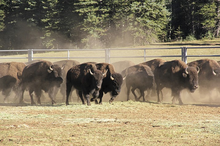Bison enter a corral on the North Rim of Grand Canyon National Park, Arizona. (Bryan Maul/National Park Service via AP)
