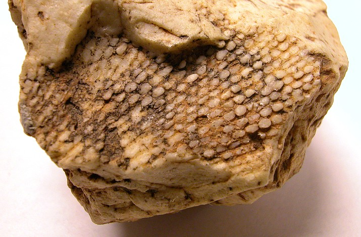 Grand Canyon's walls are home to many fossilized sea creatures like this bryozoan. (Mike Quinn/NPS)