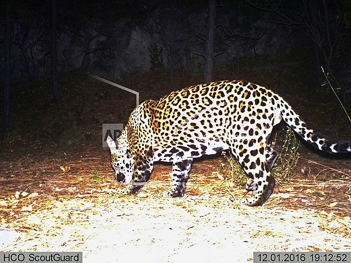 This Dec. 1, 2016 file image from video provided by Fort Huachuca shows a wild jaguar in southern Arizona. The 10th U.S. Circuit Court of Appeals in Denver is scheduled to hear arguments Wednesday, Sept. 25, 2019, from environmentalists and from lawyers representing a group of ranchers and farmers whether tens of thousands of acres in New Mexico should be reserved as critical habitat for the endangered jaguar. (Fort Huachuca photo)