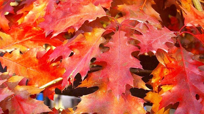 The leaves of the Prescott Red Oak — adding color to the local landscape. (Watters Garden Center/Courtesy)
