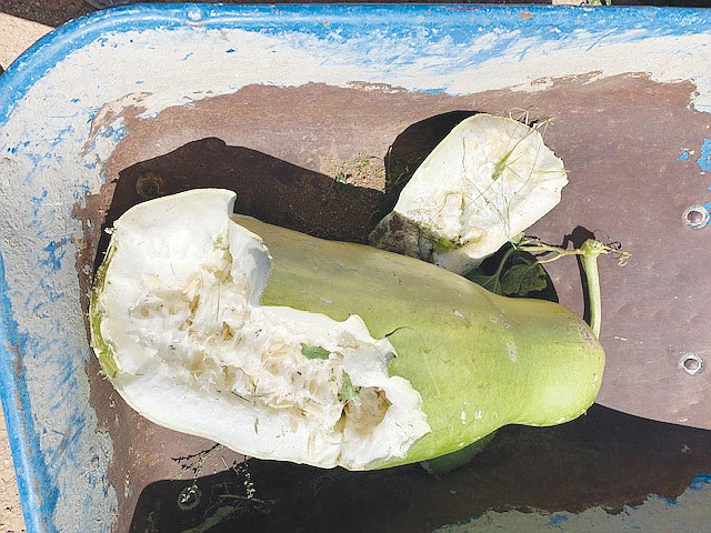 This heirloom zucca gourd was smashed when someone vandalized the Dig it Kingman Community Garden this month. (Dig it Kingman Community Garden courtesy photo)