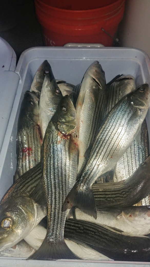 Stripers still biting at night on Lake Mead
