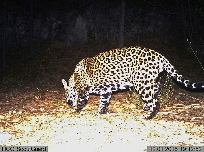 A 2016 image from a video provided by Fort Huachuca shows a wild jaguar in southern Arizona. The 10th U.S. Circuit Court of Appeals in Denver is scheduled to hear arguments Sept. 25 from environmentalists and from lawyers representing a group of ranchers and farmers whether tens of thousands of acres in New Mexico should be reserved as critical habitat for the endangered jaguar. (Fort Huachuca via AP, File)