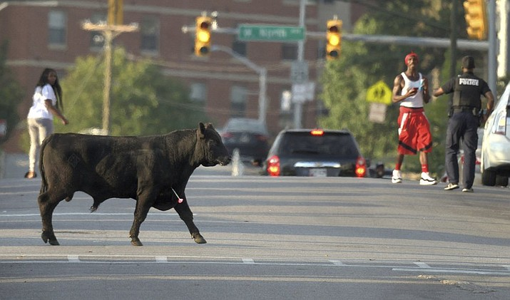 An escaped Angus breeding bull crosses North Warwick Avenue near Coppin State University after being shot with several tranquilizer darts, Wednesday, Oct. 2, 2019, in Baltimore. The bull eventually went down a couple blocks later and was loaded into a trailer. (Jerry Jackson/The Baltimore Sun via AP)