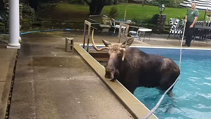 A young moose that got stuck in a New Hampshire swimming pool has been successfully coaxed out. (New Hampshire Fish and Game)