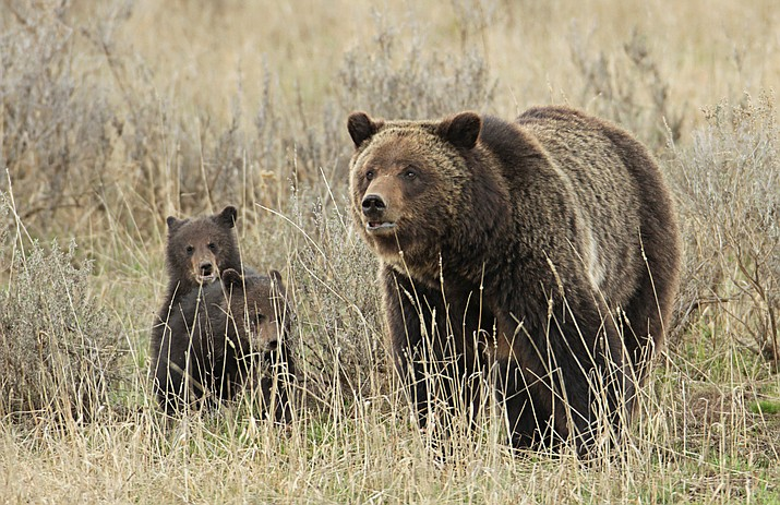 Grizzly No. 399 gained fame for raising at least four litters of cubs within view of roads in Grand Teton National Park. (Photo/NPS)