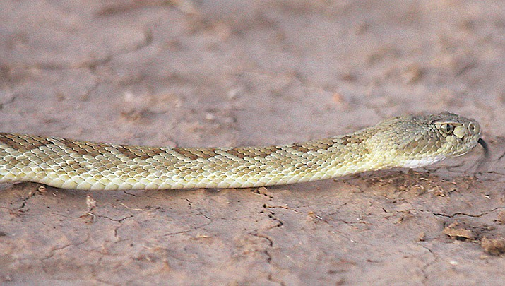 This rattlesnake was photographed northeast of Kingman in 2008. (Daily Miner file photo)