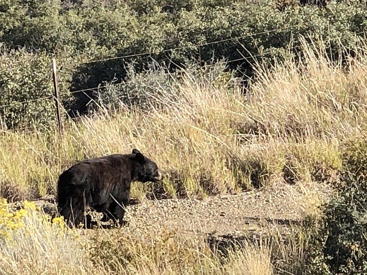Reader Lester Dixon shared with us some photos taken by Houston Spaulding of a bear seen roaming in the StoneRidge area of Prescott Valley. Dixon said that the photos were taken on Wednesday, Oct. 9, 2019 at about 4 p.m. (Houston Spaulding/Courtesy)