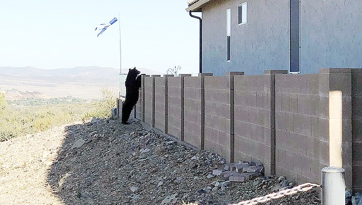 A black bear looks over a block wall in the StoneRidge subdivision of Prescott Valley, Wednesday, Oct. 9, 2019. (Houston Spaulding/Courtesy)