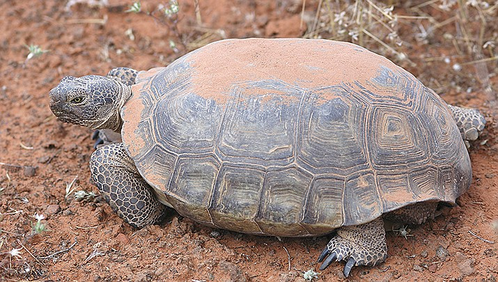 A desert tortoise is shown in this 2005 photo. The Arizona Game and Fish Department Desert Tortoise Adoption Program is looking for Arizonans willing to adopt tortoises seized from illegal breeders. (Public Domain photo)