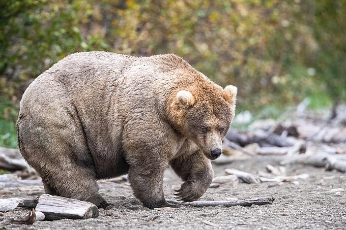 Bear 435, also known as Holly, was crowned Queen of Katmai National Park's Fat Bear Week Oct. 7. (Photo/NPS)