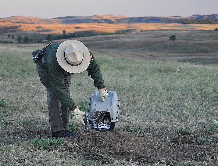 Park Superintendent Vidal Dávila releasing one of the 29 black-footed ferrets recently reintroduced into the park. (Photo/NPS)