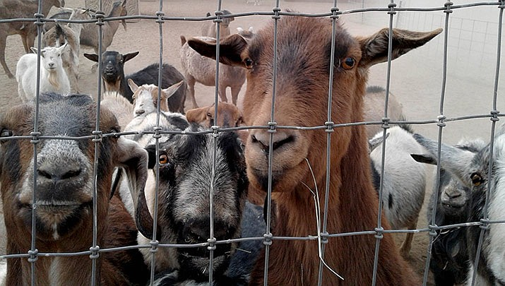 Come and hang out with the goats and many other animals for the Circle L Ranch Animal Rescue and Sanctuary Halloween event on Saturday, Oct. 19. (Courtesy, file)