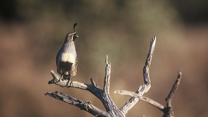 Arizona Game and Fish Department said quail should be plentiful for hunters this year. (AZGFD photo)