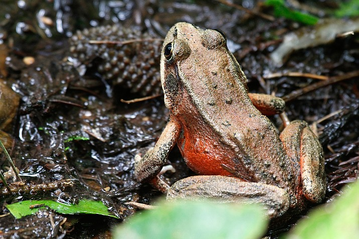 The threatened California red-legged frog were found at four relocation sites following wildfires earlier this year. (Stock photo)